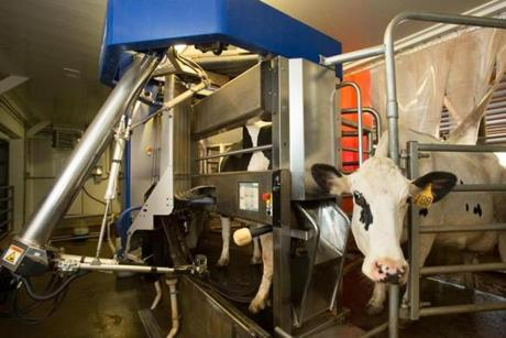 A cow in the robotic milking machine at Great Brook Farm State Park in Carlisle.